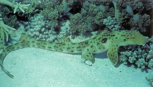 Epaulette shark.jpg