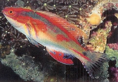 Exquisite Fairy Wrasse.jpg