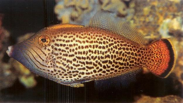 Fantail filefish.jpg