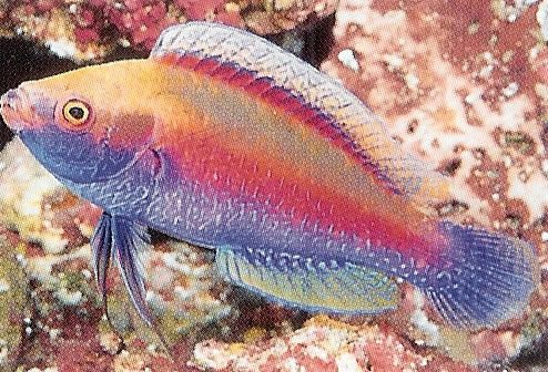 Finespotted Fairy Wrasse.jpg
