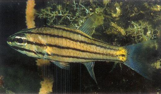 Fivelined cardinalfish.jpg
