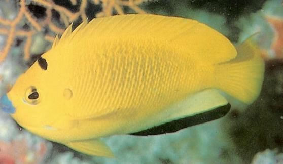Flagfin Angelfish.jpg