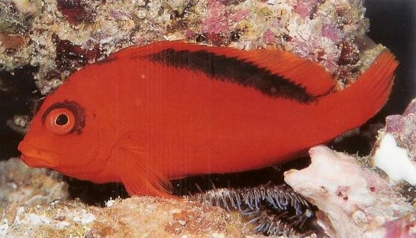 Flame hawkfish.jpg