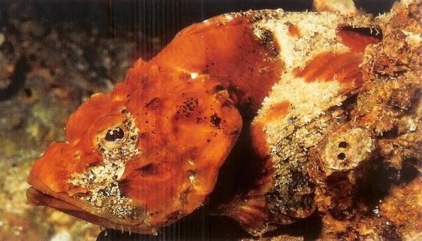 Flasher Scorpionfish.jpg