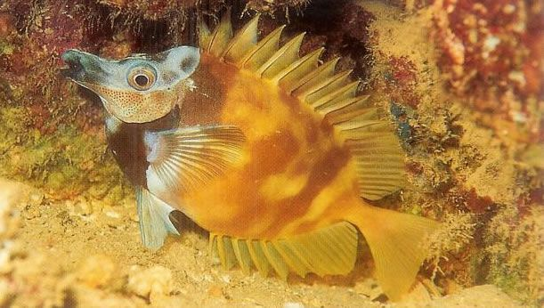 Foxface Rabbitfish.jpg