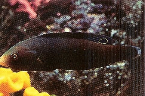 Geographic Wrasse.jpg