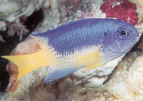 Goldbelly Damselfish.jpg