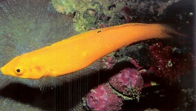 Golden Wrasse.jpg