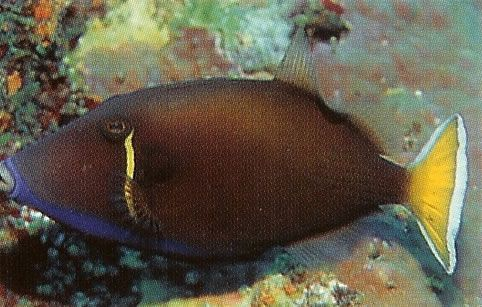 Halfmoon Triggerfish.jpg
