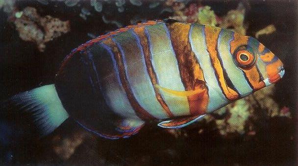 Harlequin Tuskfish.jpg