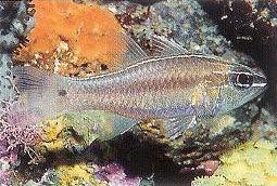 Hartzfelds cardinalfish.jpg