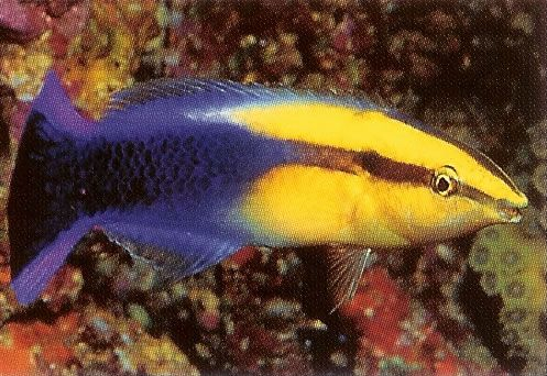 Hawaiian Cleaner Wrasse.jpg
