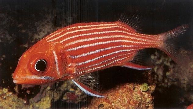 Hawaiian squirrelfish.jpg