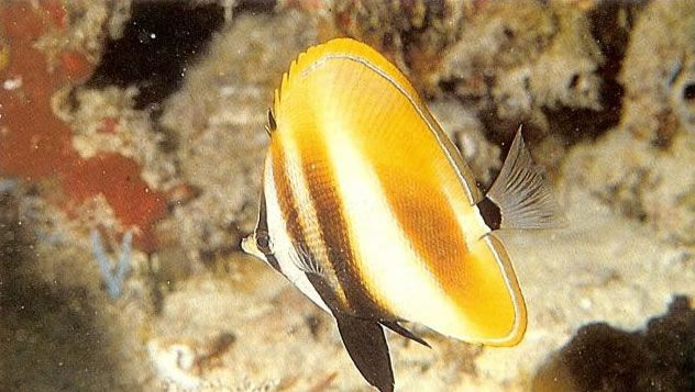 Highfin coralfish.jpg