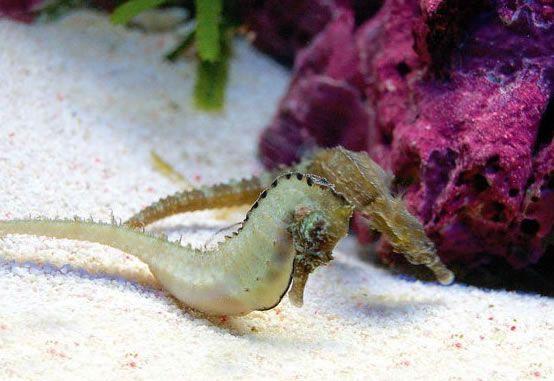 Hippocampus Fuscus.jpg