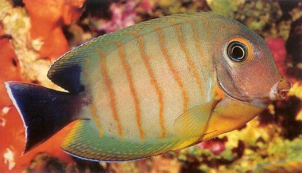 Indian mimic surgeonfish.jpg
