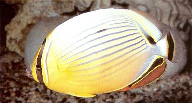Indian ocean redfin butterflyfish.jpg
