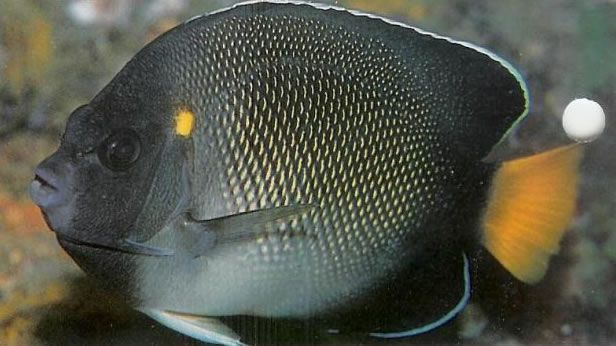 Indian Yellowtail Angelfish.jpg