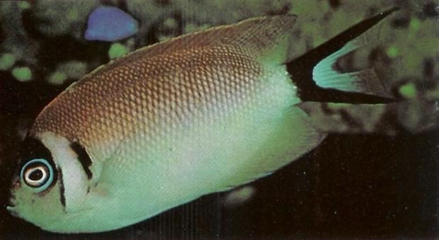 Japanese Swallow Angelfish Female.jpg