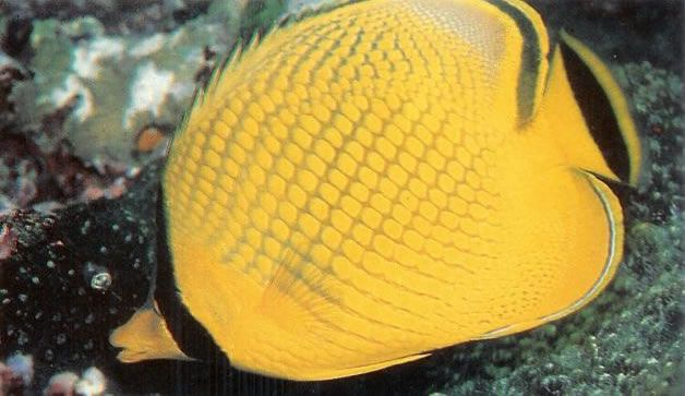 Latticed butterflyfish.jpg