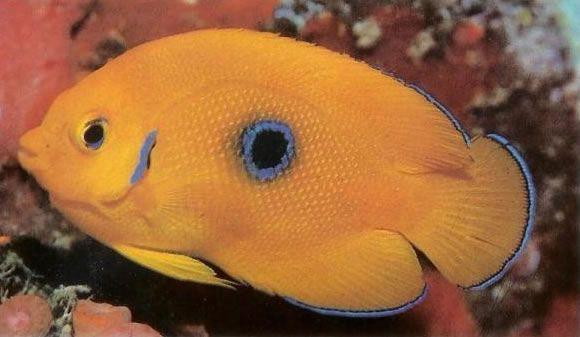 Lemonpeel Angelfish.jpg