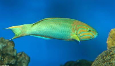 Lime Green Wrasse.jpg