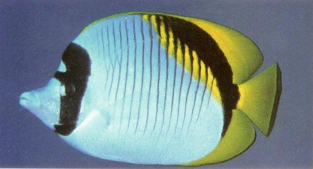 Lined butterflyfish.jpg