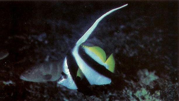 Longfin bannerfish.jpg