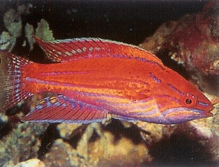 Lyretail Flasher Wrasse.jpg