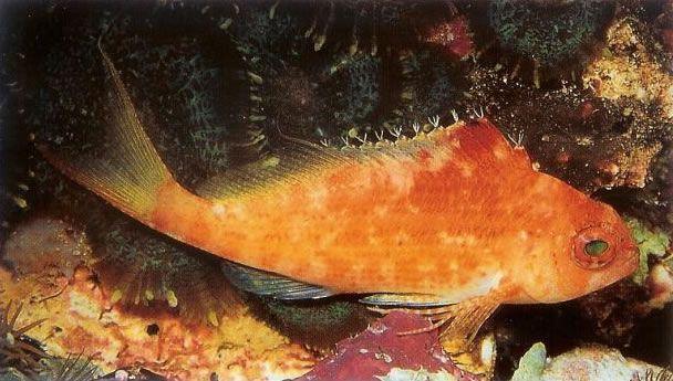 Lyretail hawkfish.jpg