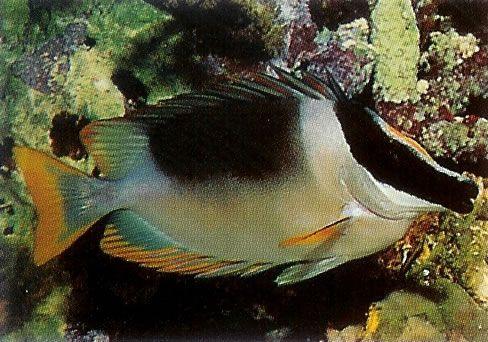 Magnificent Rabbitfish.jpg