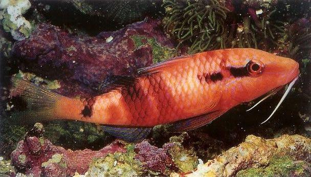 Manybar goatfish.jpg
