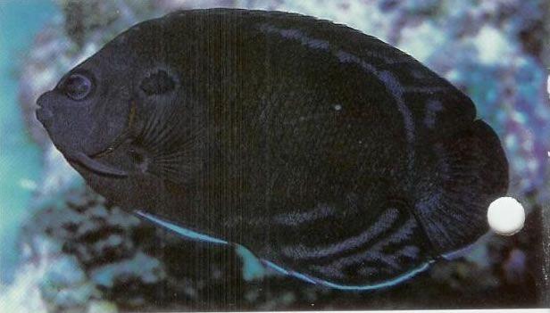 Manyspined Angelfish.jpg
