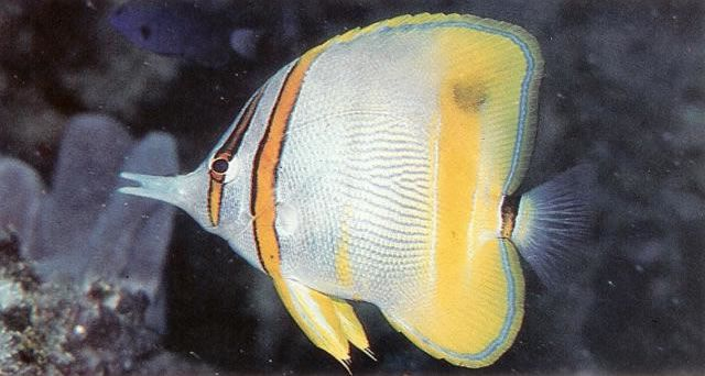 Margined butterflyfish.jpg