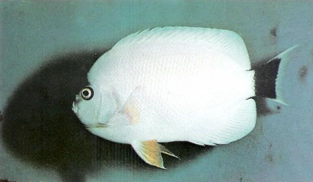 Masked Angelfish Female.jpg