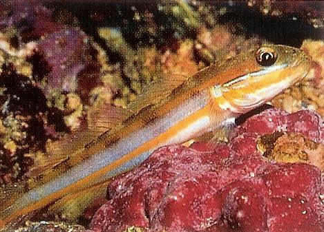 Muddy sleeper goby.jpg