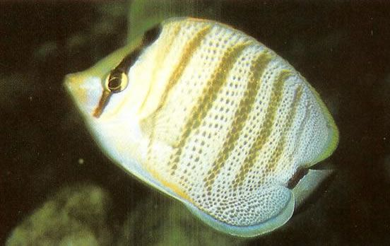 Multiband butterflyfish.jpg