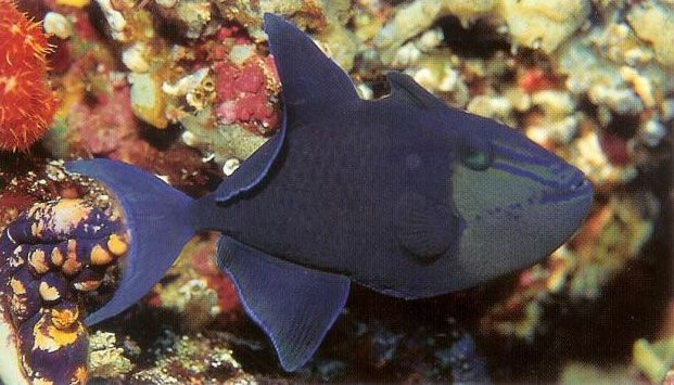Niger Triggerfish.jpg