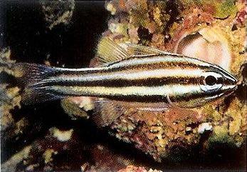 Ninebanded cardinalfish.jpg