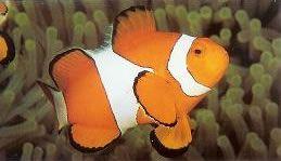 Ocellaris Anemonefish.jpg