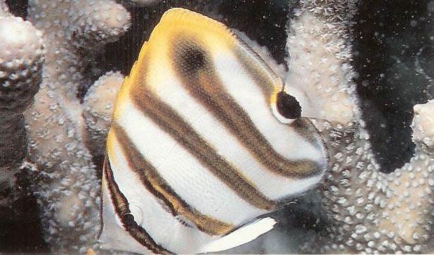 Ocellate coralfish.jpg