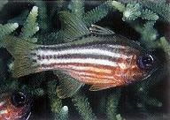 Ochre striped cardinalfish.jpg