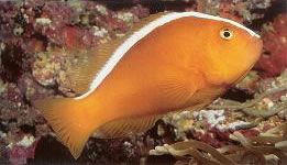 Orange Skunk Anemonefish.jpg