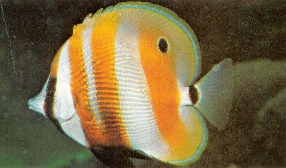 Orangebanded coralfish.jpg
