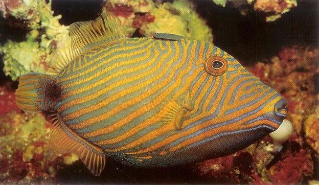 Orangelined Triggerfish.jpg