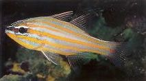 Orangestriped cardinalfish.jpg