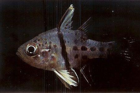 Orbiculate cardinalfish.jpg