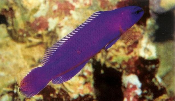 Orchid Dottyback.jpg