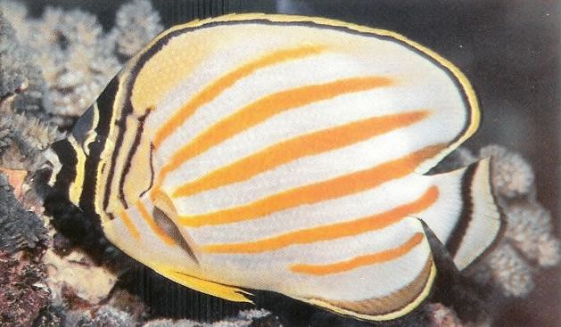 Ornate butterflyfish.jpg