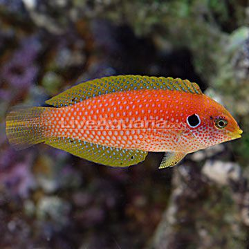 I happened to stumble upon this leopard wrasse on Liveaquaria.